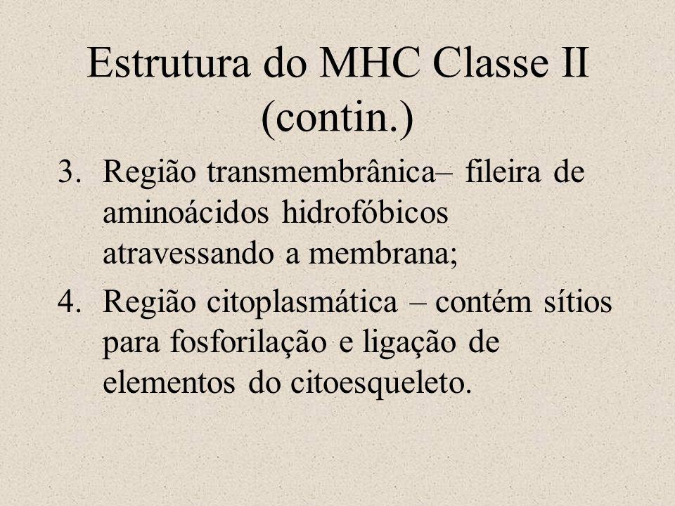 Estrutura do MHC Classe II (contin.) 3.Região transmembrânica– fileira de aminoácidos hidrofóbicos atravessando a membrana; 4.Região citoplasmática –