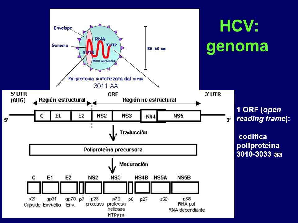 HCV: genoma 1 ORF (open reading frame): codifica poliproteína 3010-3033 aa