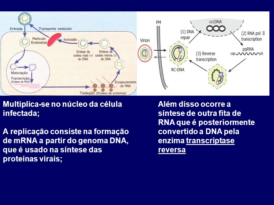 Multiplica-se no núcleo da célula infectada; A replicação consiste na formação de mRNA a partir do genoma DNA, que é usado na síntese das proteínas virais; Além disso ocorre a síntese de outra fita de RNA que é posteriormente convertido a DNA pela enzima transcriptase reversa