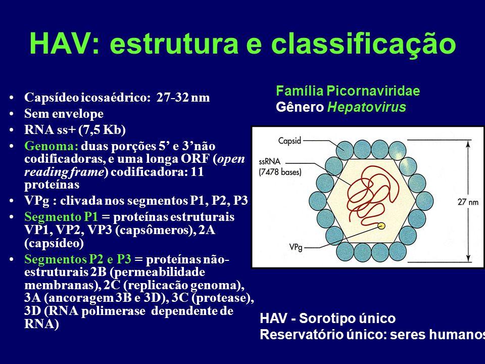HAV: estrutura e classificação Capsídeo icosaédrico: 27-32 nm Sem envelope RNA ss+ (7,5 Kb) Genoma: duas porções 5 e 3não codificadoras, e uma longa ORF (open reading frame) codificadora: 11 proteínas VPg : clivada nos segmentos P1, P2, P3 Segmento P1 = proteínas estruturais VP1, VP2, VP3 (capsômeros), 2A (capsídeo) Segmentos P2 e P3 = proteínas não- estruturais 2B (permeabilidade membranas), 2C (replicacão genoma), 3A (ancoragem 3B e 3D), 3C (protease), 3D (RNA polimerase dependente de RNA) Família Picornaviridae Gênero Hepatovirus HAV - Sorotipo único Reservatório único: seres humanos