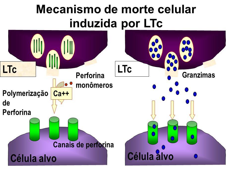 Mecanismo de morte celular induzida por LTc LTc Ca++ Perforina monômeros Polymerização de Perforina Canais de perforina LTc Célula alvo Granzimas Célu