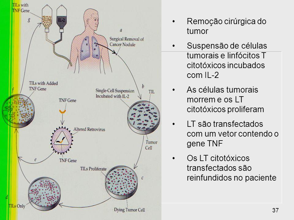 37 Remoção cirúrgica do tumor Suspensão de células tumorais e linfócitos T citotóxicos incubados com IL-2 As células tumorais morrem e os LT citotóxic