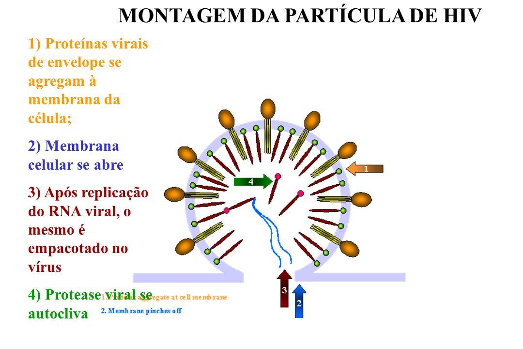 MONTAGEM DA PARTÍCULA DE HIV 1) Proteínas virais de envelope se agregam à membrana da célula; 2) Membrana celular se abre 3) Após replicação do RNA vi
