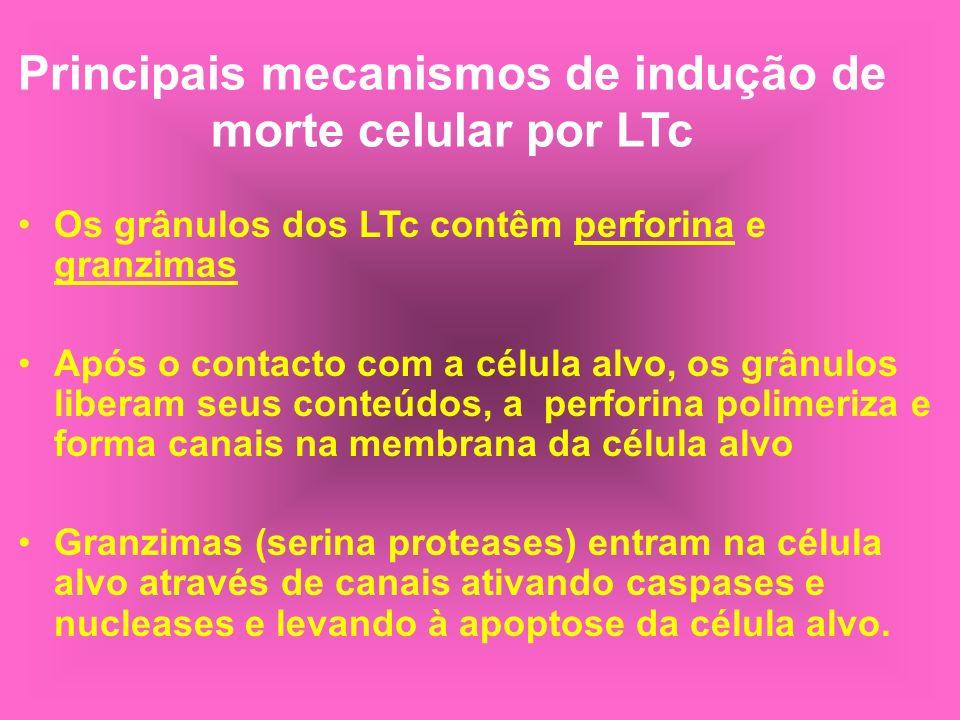 Principais mecanismos de indução de morte celular por LTc Os grânulos dos LTc contêm perforina e granzimas Após o contacto com a célula alvo, os grânu