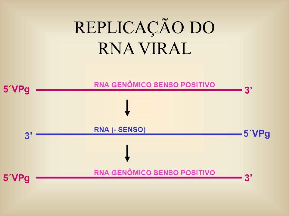 REPLICAÇÃO DO RNA VIRAL RNA GENÔMICO SENSO POSITIVO 3 5´VPg RNA (- SENSO) 3 5´VPg RNA GENÔMICO SENSO POSITIVO 35´VPg