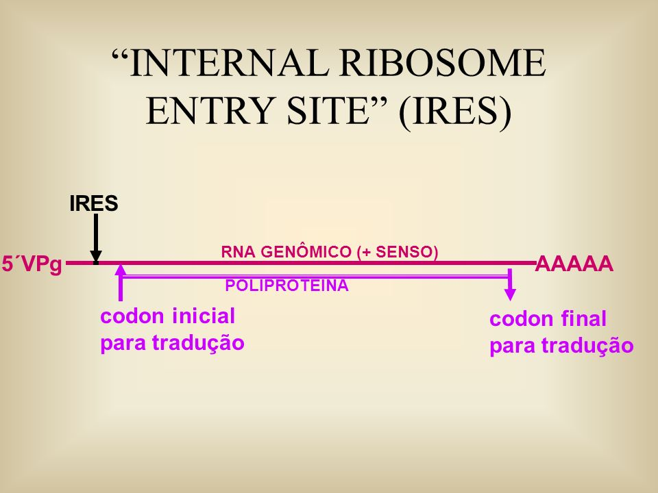 INTERNAL RIBOSOME ENTRY SITE (IRES) RNA GENÔMICO (+ SENSO) AAAAA5´VPg IRES codon inicial para tradução codon final para tradução POLIPROTEINA
