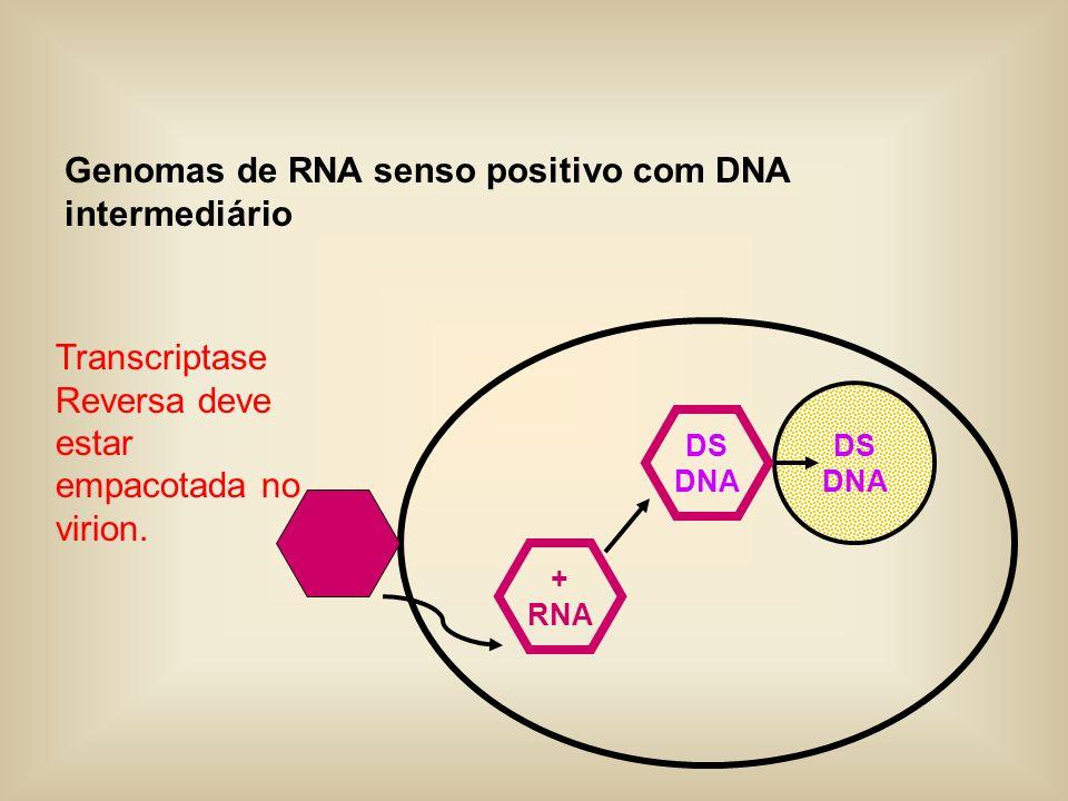 Genomas de RNA senso positivo com DNA intermediário DS DNA + RNA DS DNA Transcriptase Reversa deve estar empacotada no virion.