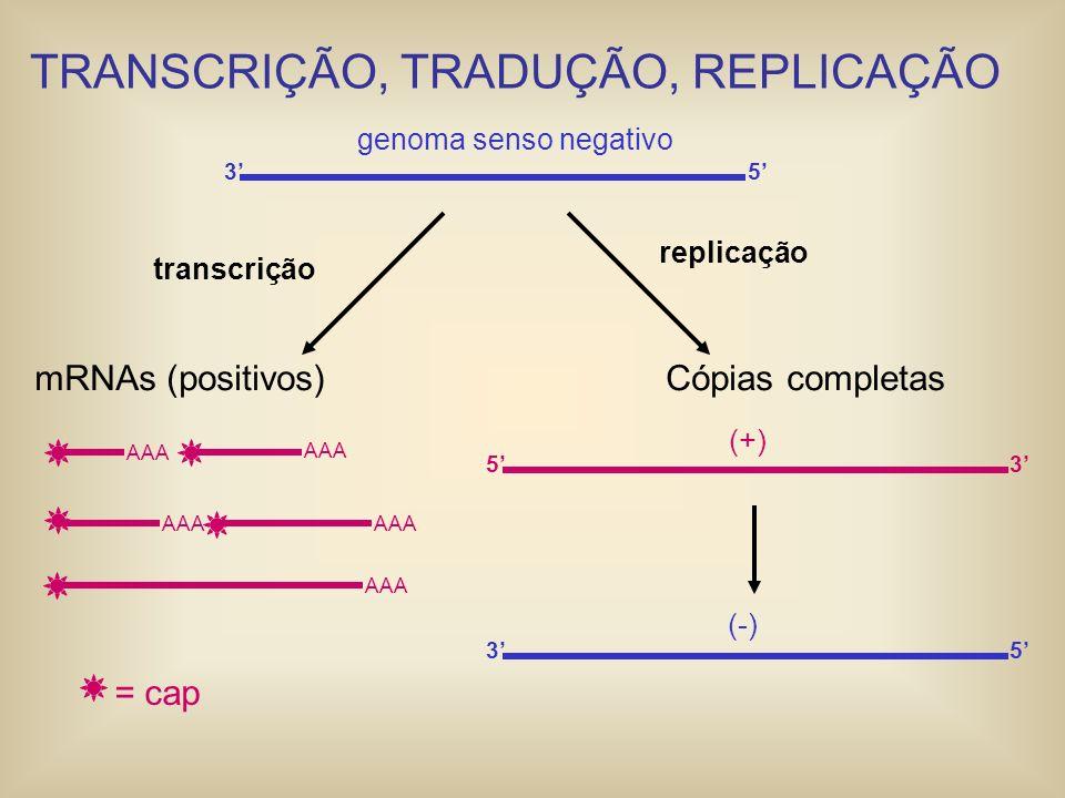 35 genoma senso negativo 35 (-) Cópias completas 53 (+) replicação transcrição mRNAs (positivos) AAA = cap TRANSCRIÇÃO, TRADUÇÃO, REPLICAÇÃO