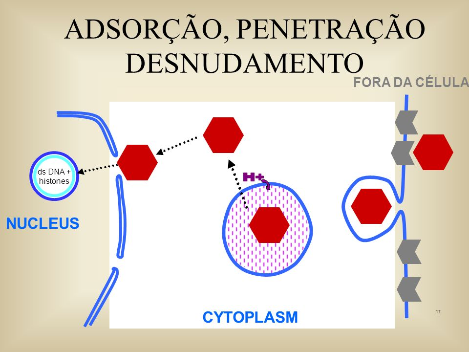 17 ADSORÇÃO, PENETRAÇÃO DESNUDAMENTO NUCLEUS CYTOPLASM FORA DA CÉLULA ds DNA + histones