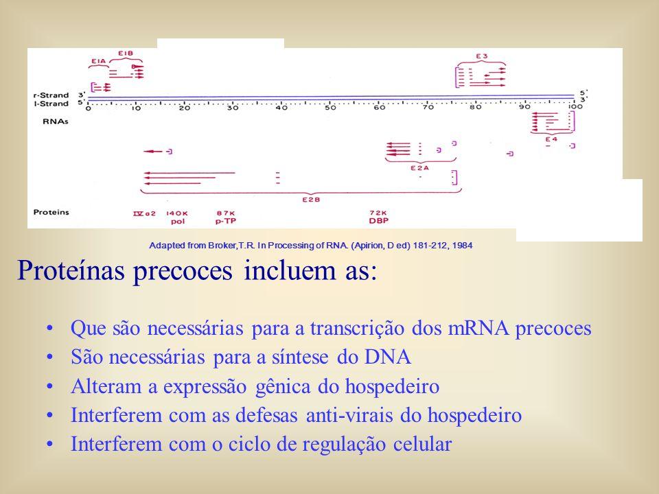 Proteínas precoces incluem as: Que são necessárias para a transcrição dos mRNA precoces São necessárias para a síntese do DNA Alteram a expressão gêni