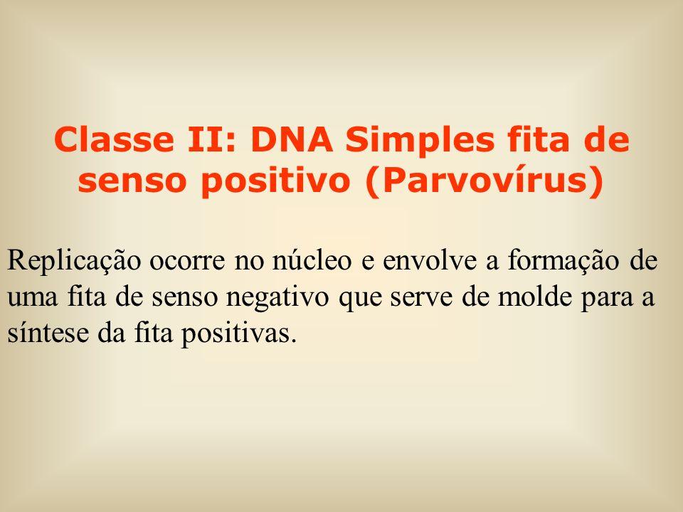 Classe II: DNA Simples fita de senso positivo (Parvovírus) Replicação ocorre no núcleo e envolve a formação de uma fita de senso negativo que serve de