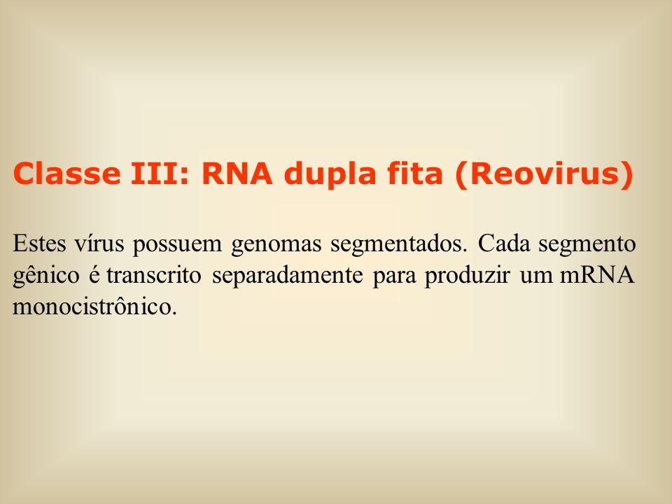 Classe III: RNA dupla fita (Reovirus) Estes vírus possuem genomas segmentados. Cada segmento gênico é transcrito separadamente para produzir um mRNA m