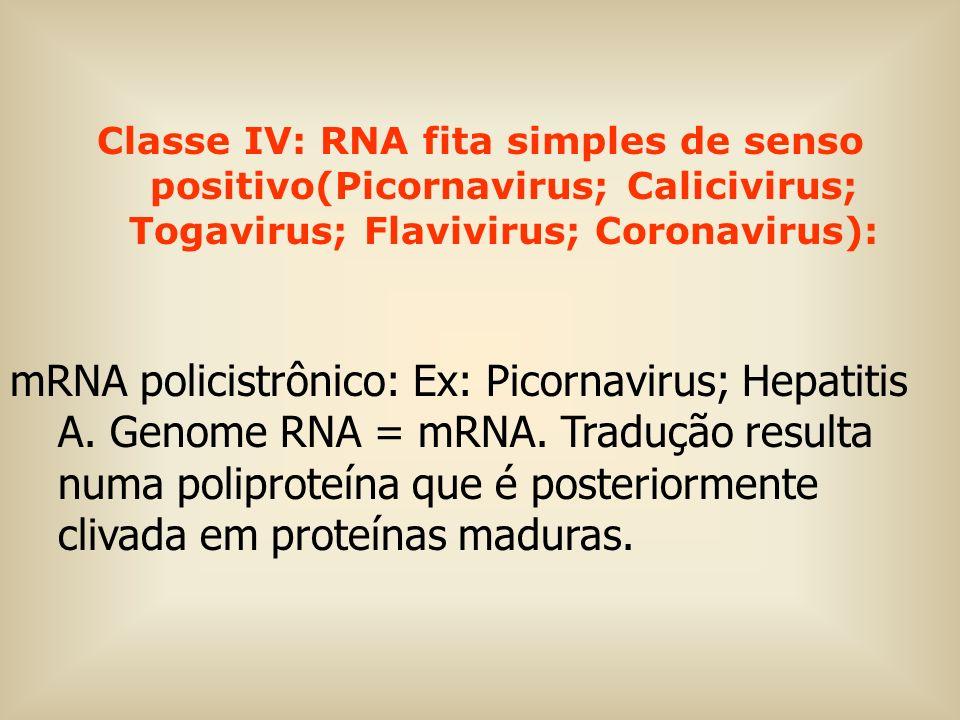 Classe IV: RNA fita simples de senso positivo(Picornavirus; Calicivirus; Togavirus; Flavivirus; Coronavirus): mRNA policistrônico: Ex: Picornavirus; H