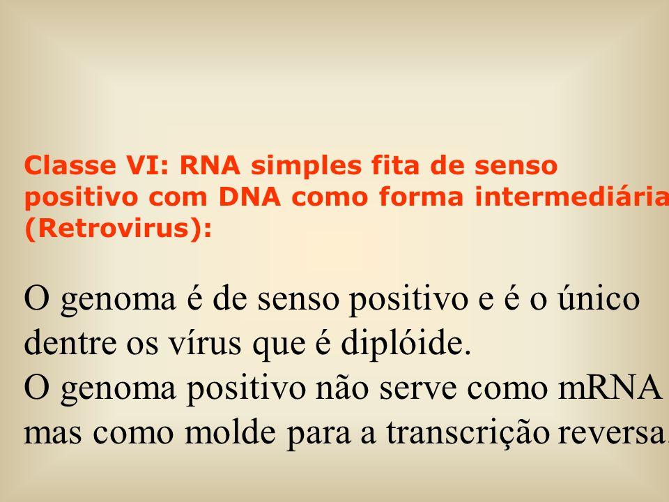 Classe VI: RNA simples fita de senso positivo com DNA como forma intermediária (Retrovirus): O genoma é de senso positivo e é o único dentre os vírus