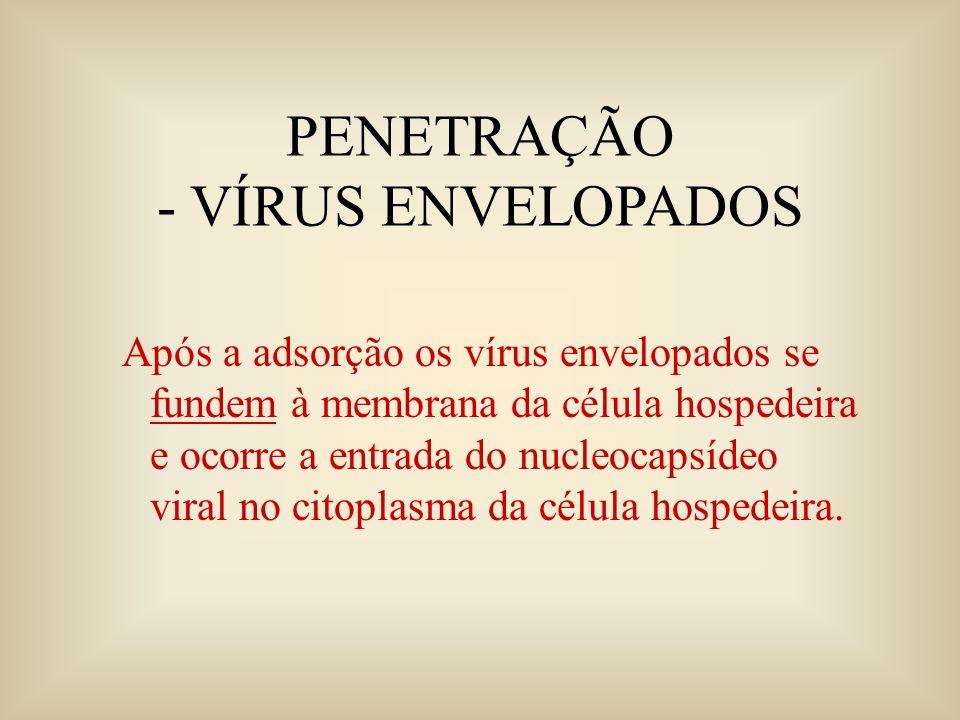 PENETRAÇÃO - VÍRUS ENVELOPADOS Após a adsorção os vírus envelopados se fundem à membrana da célula hospedeira e ocorre a entrada do nucleocapsídeo vir