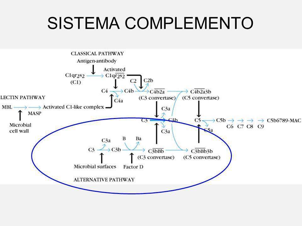 SISTEMA COMPLEMENTO VIA ALTERNATIVA Não há formação do complexo Ag-Ac.Não há formação do complexo Ag-Ac. Pode ser ativada pelas C3b ou C3.H2O, ou por