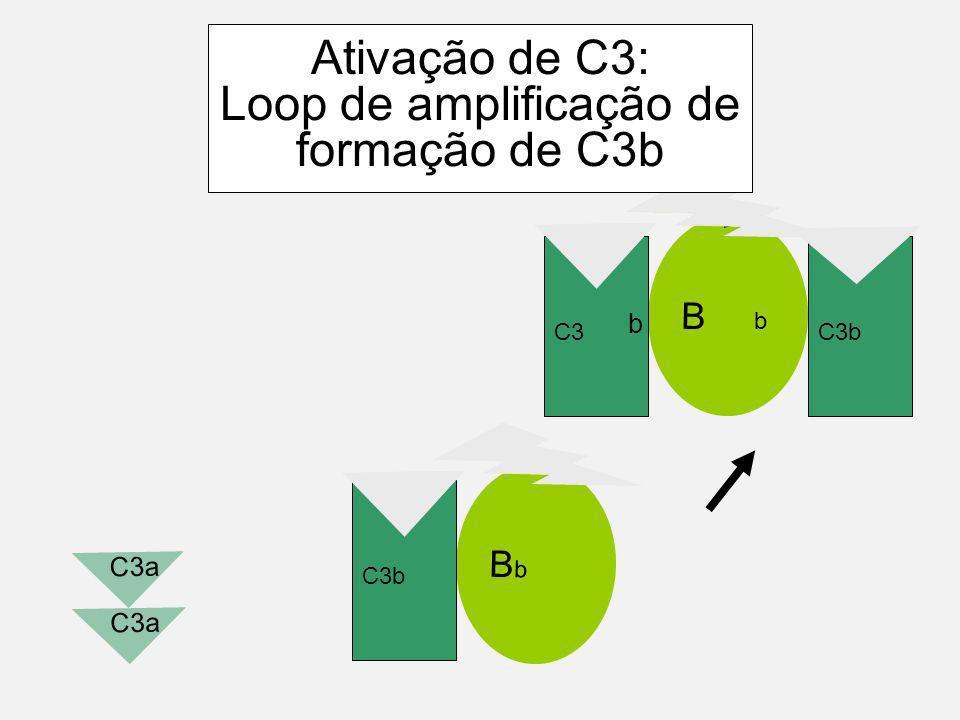 B D b C3b Ativação de C3: Loop de amplificação de formação de C3b C3 C3a b