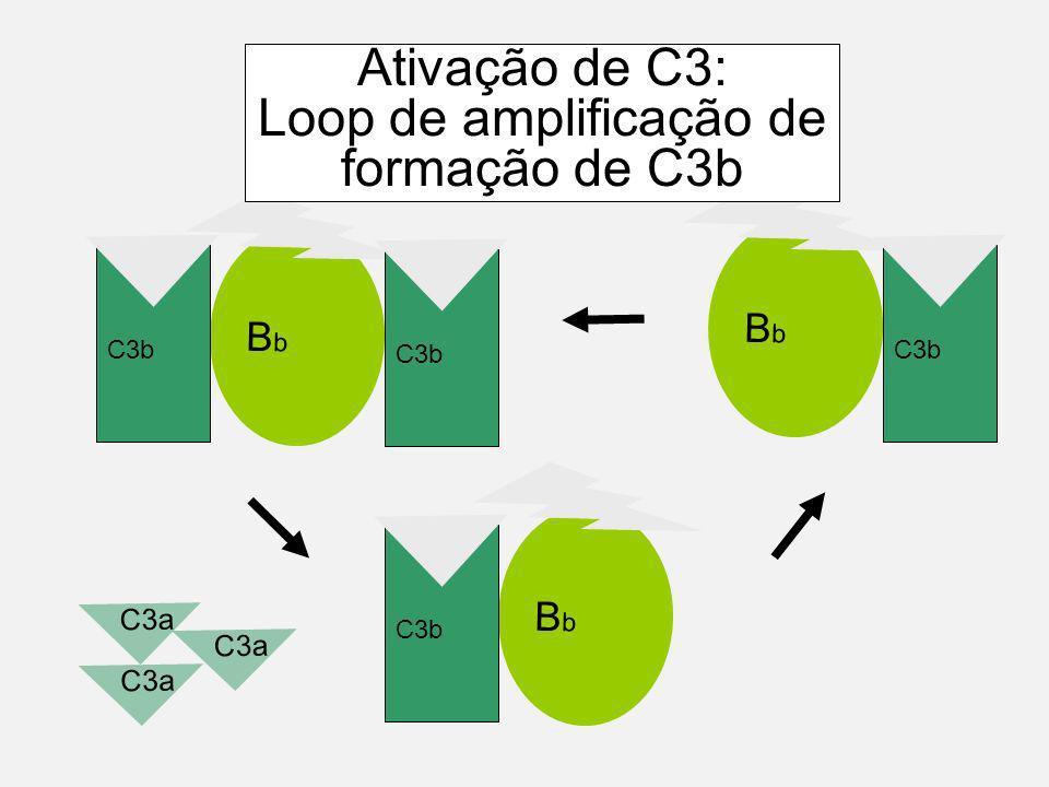 BbBb C3b C3 BbBb B D b b C3a Ativação de C3: Loop de amplificação de formação de C3b C3b