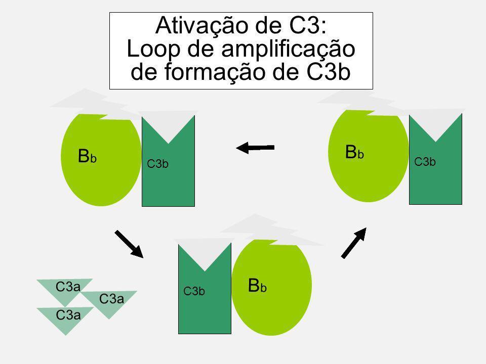 C3a BbBb C3b BbBb BbBb C3a Ativação de C3: Loop de amplificação de formação de C3b C3b