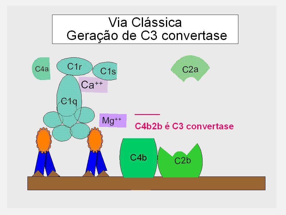 6 Ca ++ C1r C1s C1q C4 C4a b Via Clássica Geração de C3 convertase