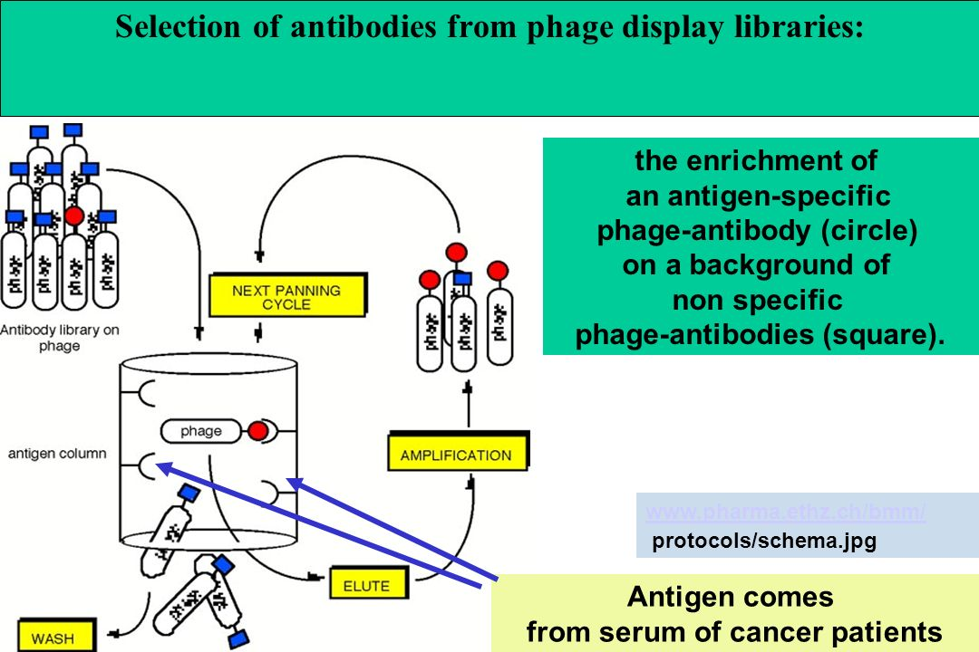 the enrichment of an antigen-specific phage-antibody (circle) on a background of non specific phage-antibodies (square). Selection of antibodies from