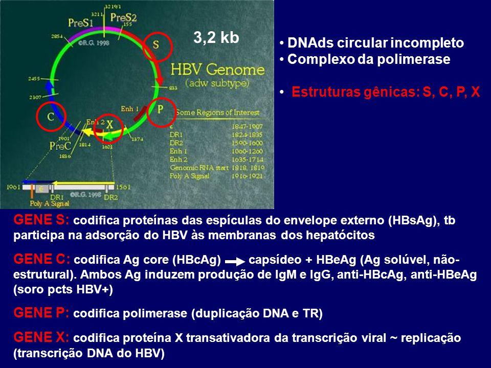 DNAds circular incompleto Complexo da polimerase Estruturas gênicas: S, C, P, X 3,2 kb GENE S: codifica proteínas das espículas do envelope externo (HBsAg), tb participa na adsorção do HBV às membranas dos hepatócitos GENE C: codifica Ag core (HBcAg) capsídeo + HBeAg (Ag solúvel, não- estrutural).