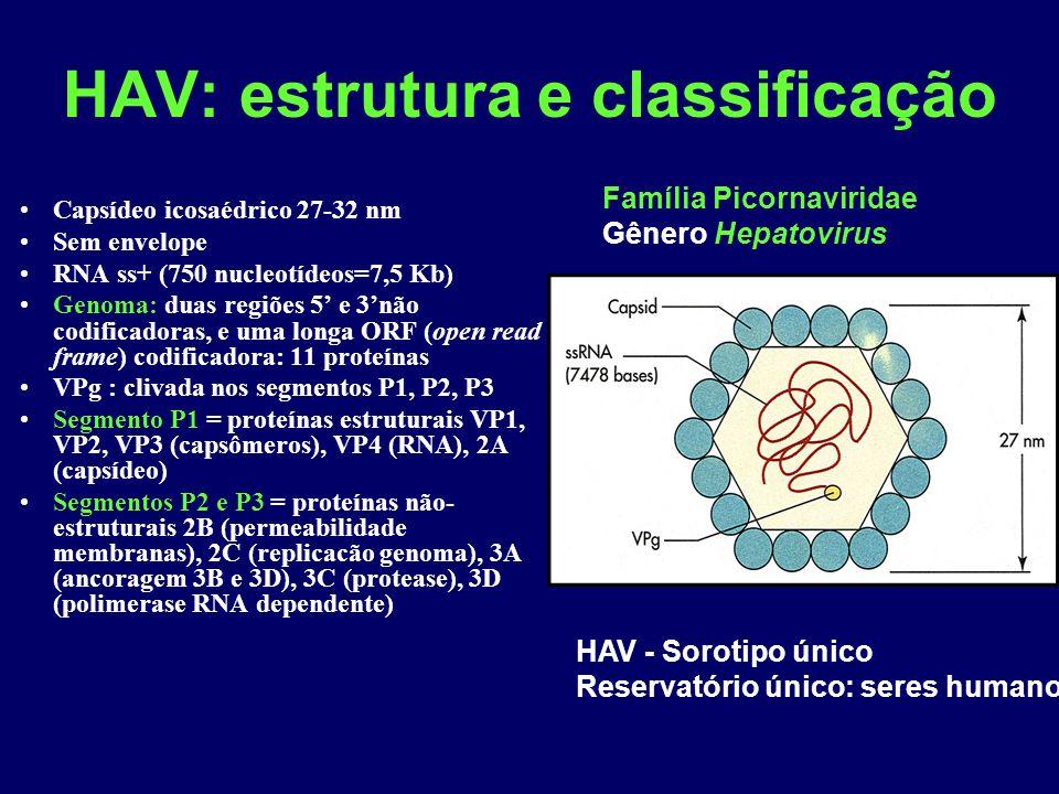 HAV: estrutura e classificação Capsídeo icosaédrico 27-32 nm Sem envelope RNA ss+ (750 nucleotídeos=7,5 Kb) Genoma: duas regiões 5 e 3não codificadoras, e uma longa ORF (open read frame) codificadora: 11 proteínas VPg : clivada nos segmentos P1, P2, P3 Segmento P1 = proteínas estruturais VP1, VP2, VP3 (capsômeros), VP4 (RNA), 2A (capsídeo) Segmentos P2 e P3 = proteínas não- estruturais 2B (permeabilidade membranas), 2C (replicacão genoma), 3A (ancoragem 3B e 3D), 3C (protease), 3D (polimerase RNA dependente) Família Picornaviridae Gênero Hepatovirus HAV - Sorotipo único Reservatório único: seres humanos