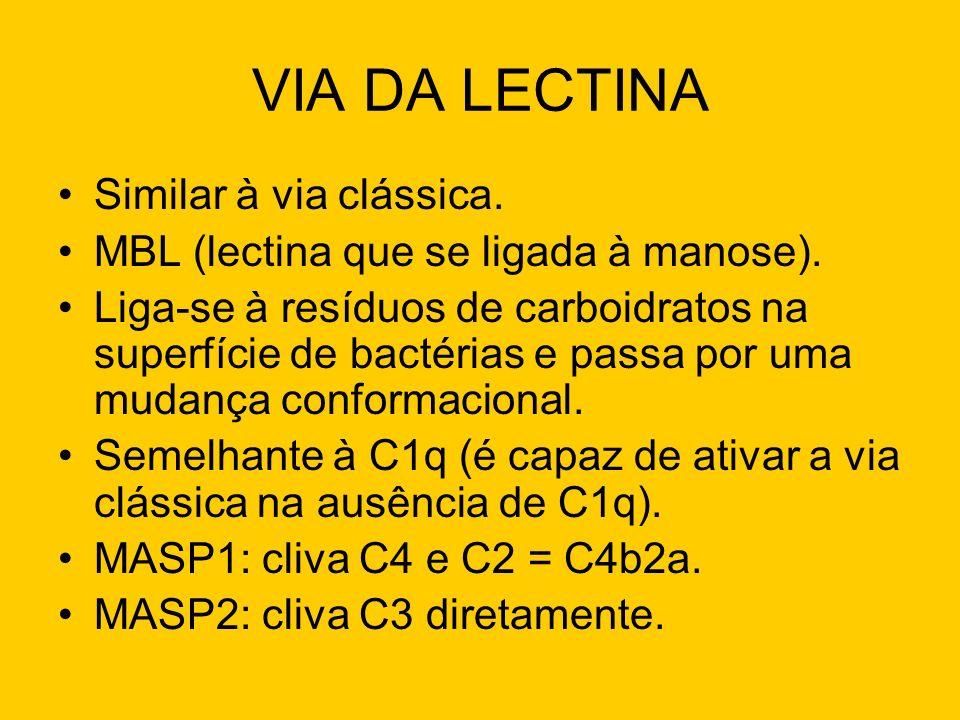 VIA DA LECTINA Similar à via clássica. MBL (lectina que se ligada à manose). Liga-se à resíduos de carboidratos na superfície de bactérias e passa por