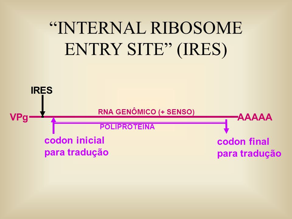 INTERNAL RIBOSOME ENTRY SITE (IRES) RNA GENÔMICO (+ SENSO) AAAAAVPg IRES codon inicial para tradução codon final para tradução POLIPROTEINA