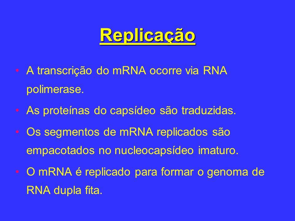 Replicação A transcrição do mRNA ocorre via RNA polimerase. As proteínas do capsídeo são traduzidas. Os segmentos de mRNA replicados são empacotados n