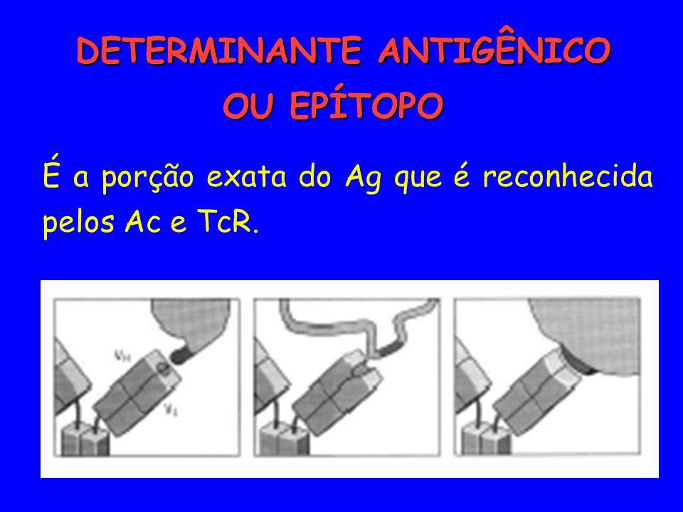 DETERMINANTE ANTIGÊNICO OU EPÍTOPO DETERMINANTE ANTIGÊNICO OU EPÍTOPO É a porção exata do Ag que é reconhecida pelos Ac e TcR.