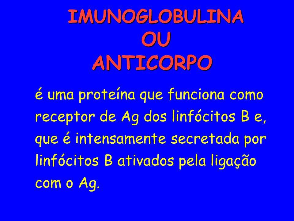 IMUNOGLOBULINA OU ANTICORPO IMUNOGLOBULINA OU ANTICORPO é uma proteína que funciona como receptor de Ag dos linfócitos B e, que é intensamente secreta