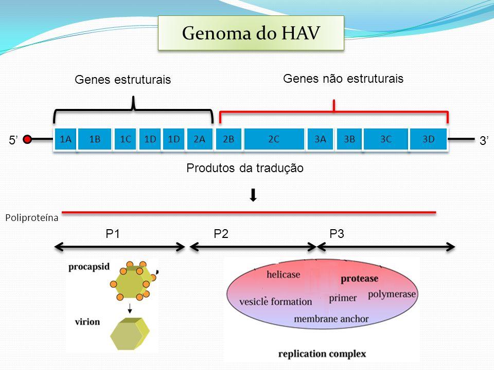 5 1A 1B 1C 1D 2A 2C 2B 3A 3B 3C 3D 3 Genes estruturais Genes não estruturais Produtos da tradução P1P2P3 Poliproteína Genoma do HAV