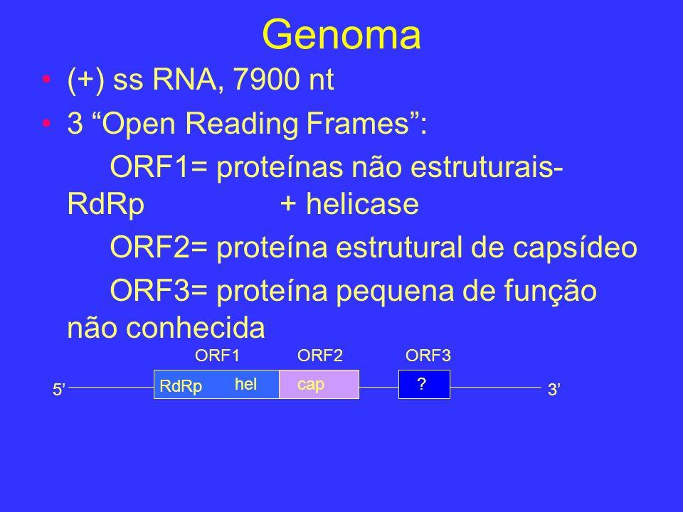 Genoma (+) ss RNA, 7900 nt 3 Open Reading Frames: ORF1= proteínas não estruturais- RdRp + helicase ORF2= proteína estrutural de capsídeo ORF3= proteín