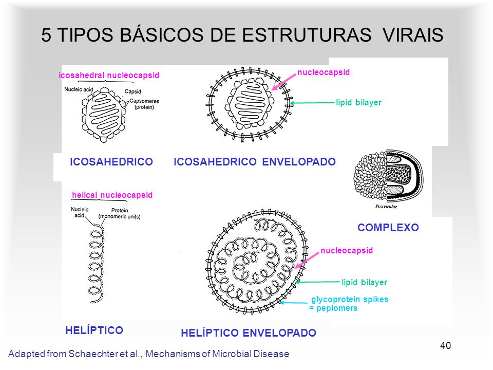 40 5 TIPOS BÁSICOS DE ESTRUTURAS VIRAIS HELÍPTICO HELÍPTICO ENVELOPADO ICOSAHEDRICO ENVELOPADO COMPLEXO ICOSAHEDRICO Adapted from Schaechter et al., Mechanisms of Microbial Disease nucleocapsid icosahedral nucleocapsid nucleocapsid helical nucleocapsid lipid bilayer glycoprotein spikes = peplomers