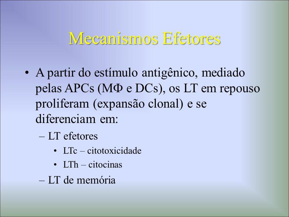 Mecanismos Efetores A partir do estímulo antigênico, mediado pelas APCs (M e DCs), os LT em repouso proliferam (expansão clonal) e se diferenciam em:
