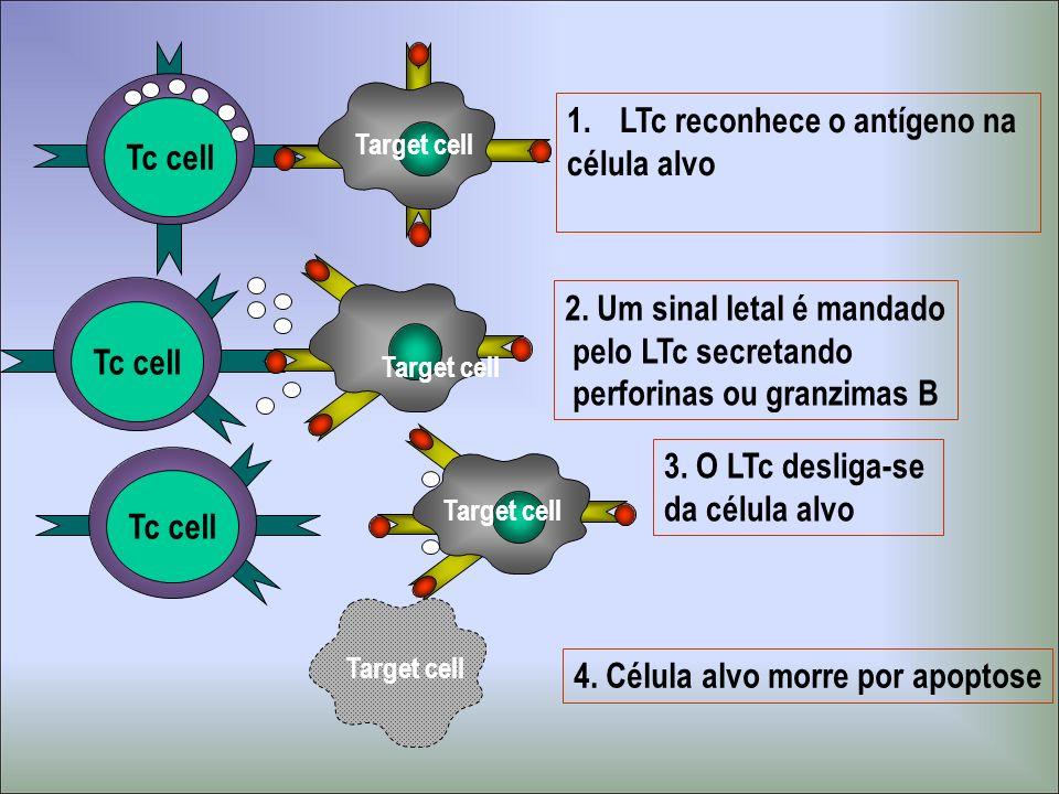 Tc cell 1.LTc reconhece o antígeno na célula alvo Target cell Tc cell 2. Um sinal letal é mandado pelo LTc secretando perforinas ou granzimas B Target