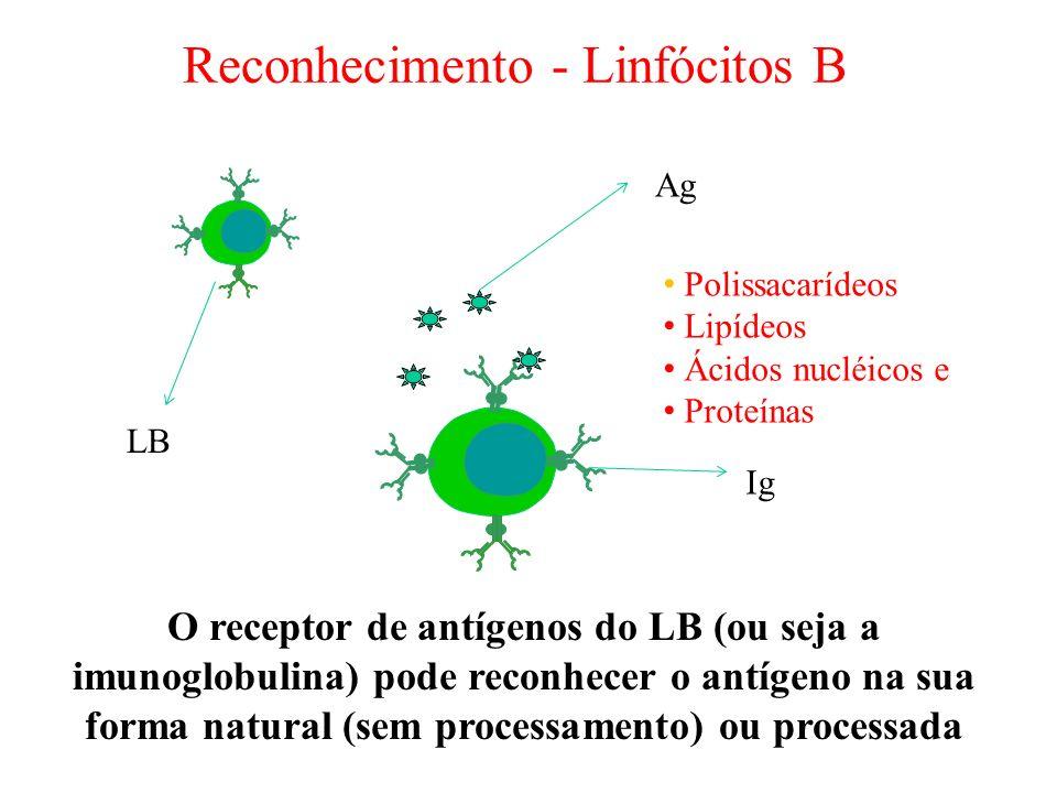 O receptor de antígenos do LB (ou seja a imunoglobulina) pode reconhecer o antígeno na sua forma natural (sem processamento) ou processada Reconhecime
