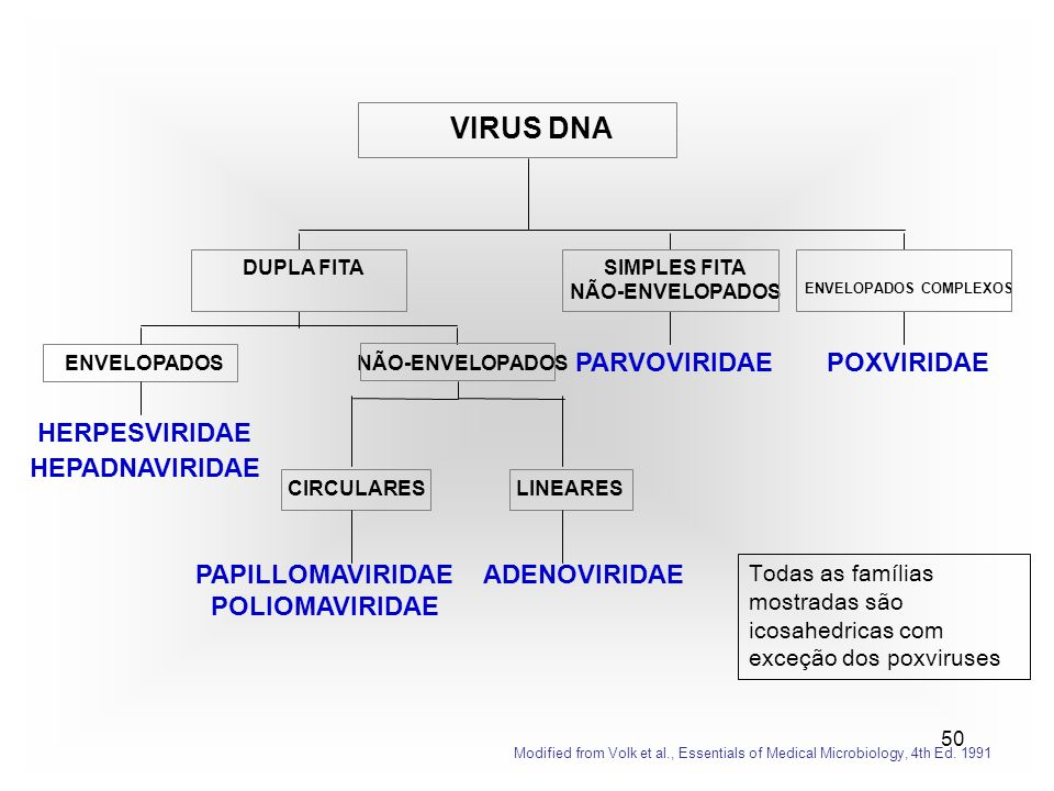 50 HERPESVIRIDAE HEPADNAVIRIDAE ENVELOPADOS PAPILLOMAVIRIDAE POLIOMAVIRIDAE CIRCULARES ADENOVIRIDAE LINEARES NÃO-ENVELOPADOS DUPLA FITA PARVOVIRIDAE SIMPLES FITA NÃO-ENVELOPADOS POXVIRIDAE ENVELOPADOS COMPLEXOS VIRUS DNA Modified from Volk et al., Essentials of Medical Microbiology, 4th Ed.