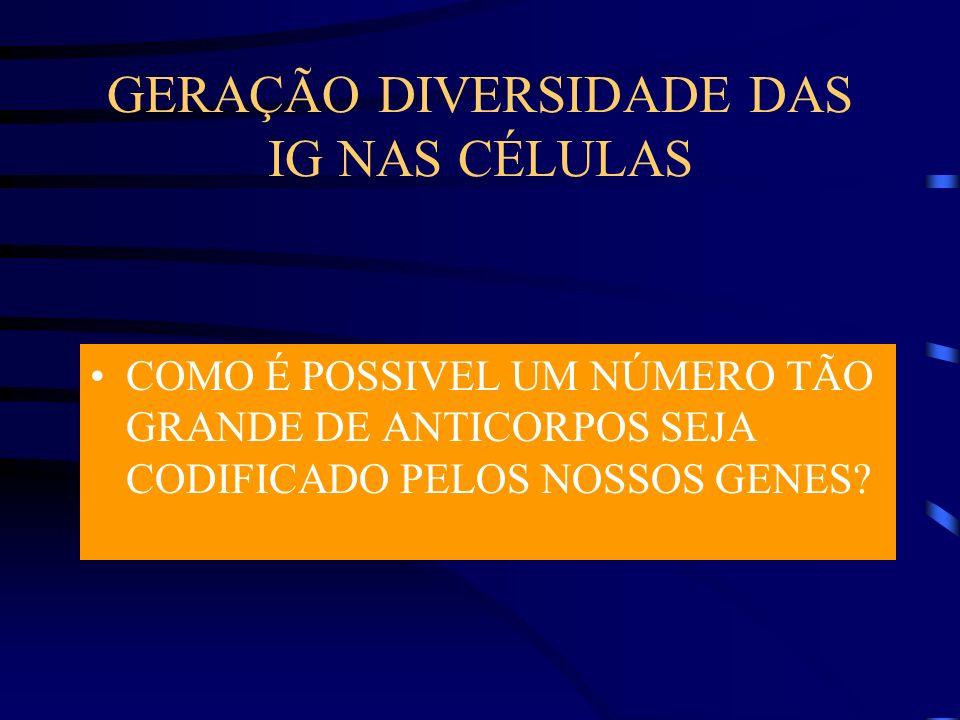 GERAÇÃO DIVERSIDADE DAS IG NAS CÉLULAS B 10^15 a 10^18 diferentes anticorpos num indivíduo Muito espaço no genoma seria utilizado se cada Ac fosse codificado por um gene Menos que 1000 genes Nas células B os genes da Ig são fragmentados (segmentos gênicos ) Herdados linha germinativa