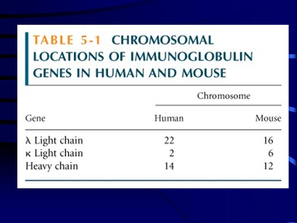 CADEIA LEVE Cadeia : 40V, 5J, 1C Cadeia : 31V, 4J, 7C CADEIA PESADA Apresentam diversidade adicional: D Segmentos gênicos constantes juntos (C C C C ), porém distantes dos VH, DH, JH VH: 50 genes DH: 20 genes JH: 6 genes