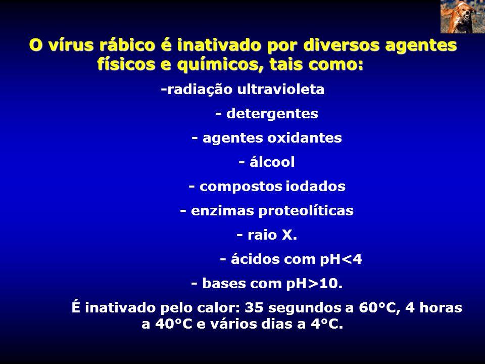 O vírus rábico é inativado por diversos agentes físicos e químicos, tais como: -radiação ultravioleta - detergentes - agentes oxidantes - álcool - com