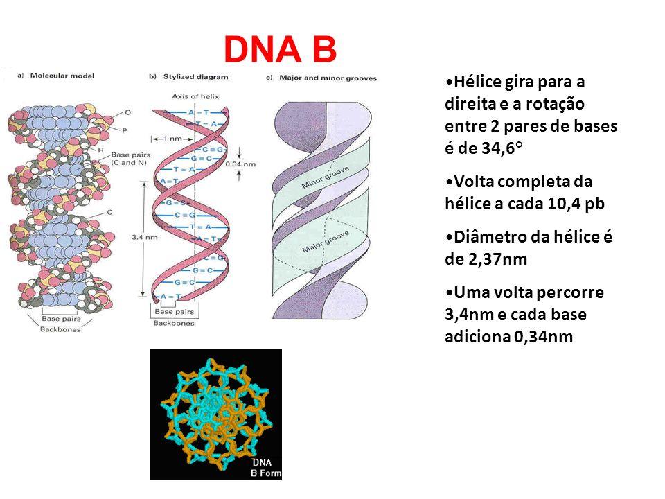 DNA B Hélice gira para a direita e a rotação entre 2 pares de bases é de 34,6° Volta completa da hélice a cada 10,4 pb Diâmetro da hélice é de 2,37nm