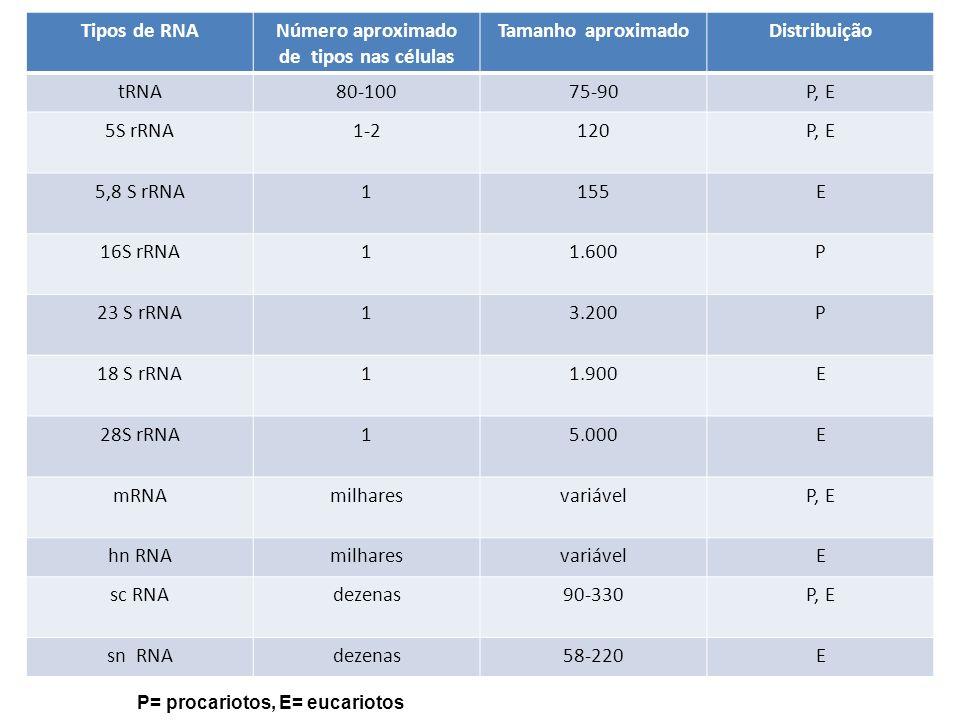 Tipos de RNANúmero aproximado de tipos nas células Tamanho aproximadoDistribuição tRNA80-10075-90P, E 5S rRNA1-2120P, E 5,8 S rRNA1155E 16S rRNA11.600