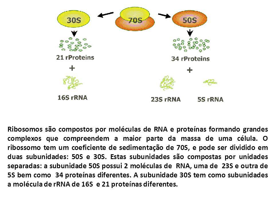 Ribosomos são compostos por moléculas de RNA e proteínas formando grandes complexos que compreendem a maior parte da massa de uma célula. O ribossomo
