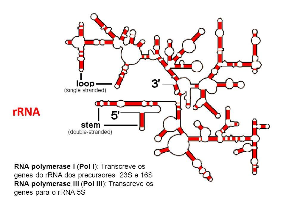 rRNA RNA polymerase I (Pol I): Transcreve os genes do rRNA dos precursores 23S e 16S RNA polymerase III (Pol III): Transcreve os genes para o rRNA 5S