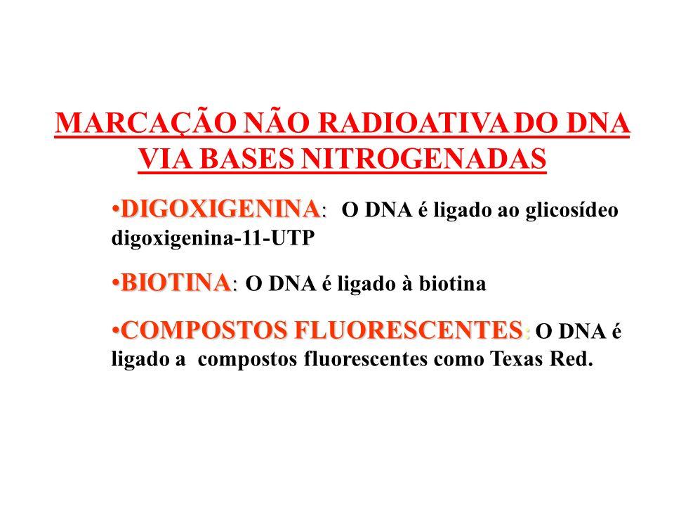 MARCAÇÃO NÃO RADIOATIVA DO DNA VIA BASES NITROGENADAS DIGOXIGENINA :DIGOXIGENINA : O DNA é ligado ao glicosídeo digoxigenina-11-UTP BIOTINA :BIOTINA :