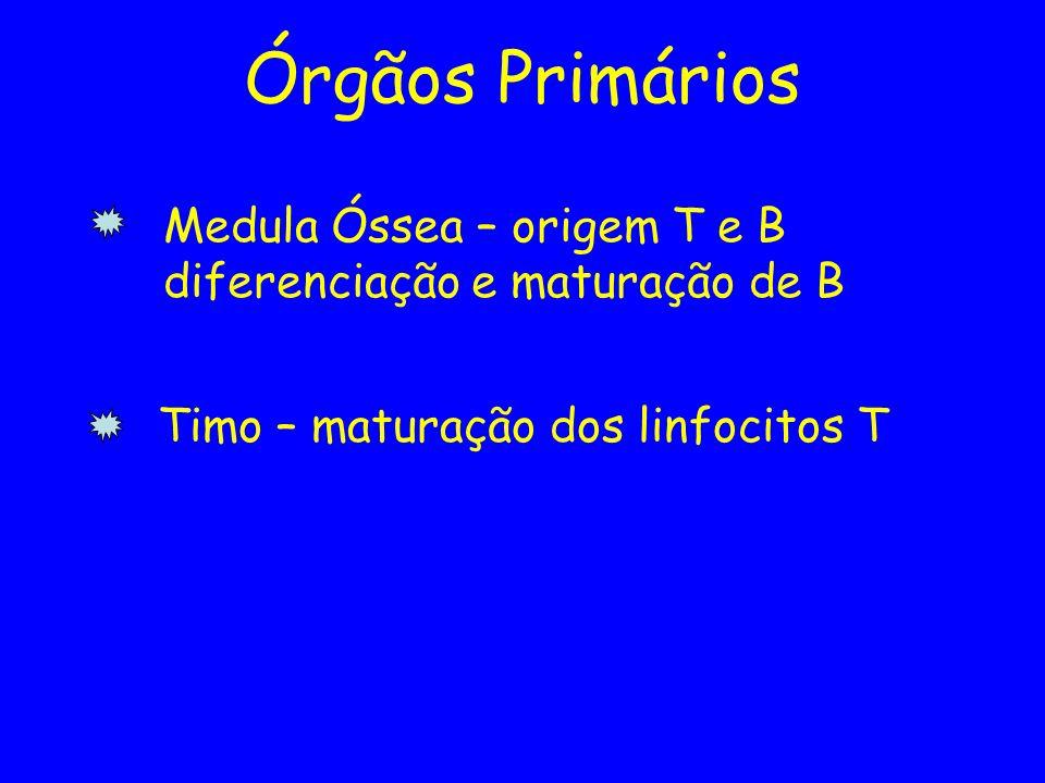 Órgãos Primários Medula Óssea – origem T e B diferenciação e maturação de B Timo – maturação dos linfocitos T