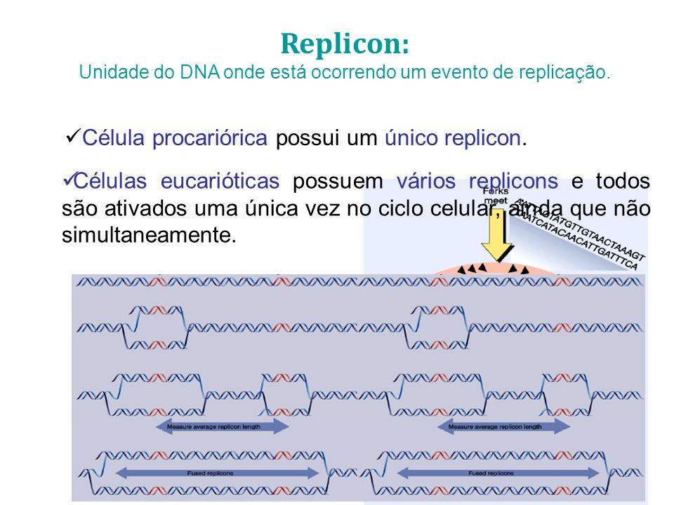 Replicon: Unidade do DNA onde está ocorrendo um evento de replicação. Célula procariórica possui um único replicon. Células eucarióticas possuem vário
