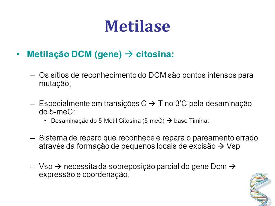 Metilase Metilação DCM (gene) citosina: –Os sítios de reconhecimento do DCM são pontos intensos para mutação; –Especialmente em transições C T no 3C pela desaminação do 5-meC: Desaminação do 5-Metil Citosina (5-meC) base Timina; –Sistema de reparo que reconhece e repara o pareamento errado através da formação de pequenos locais de excisão Vsp –Vsp necessita da sobreposição parcial do gene Dcm expressão e coordenação.